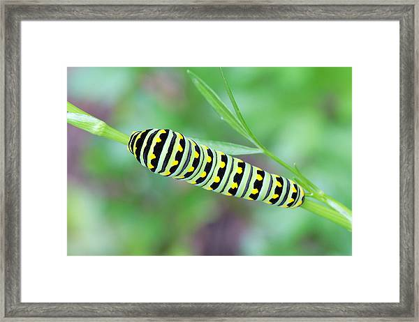 Swallowtail Caterpillar On Parsley Framed Print