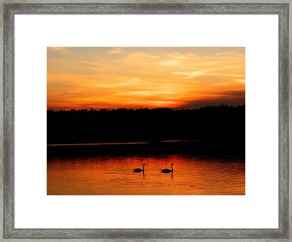 Swans In The Sunset Framed Print