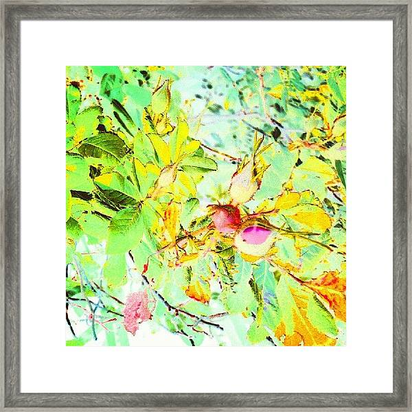 Sweet Rose Buds #android #andrography Framed Print