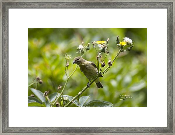 Take A Look - Lesser Goldfinch Framed Print