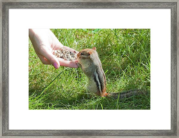 Tame Chipmunk Framed Print