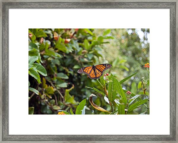 The Happy Monarch Framed Print