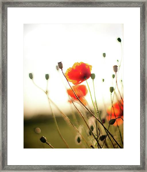 The Last Poppies Of Summer 1 Framed Print
