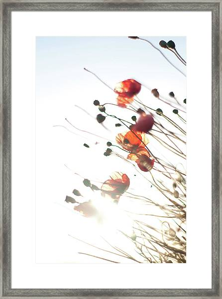 The Last Poppies Of Summer 4 Framed Print