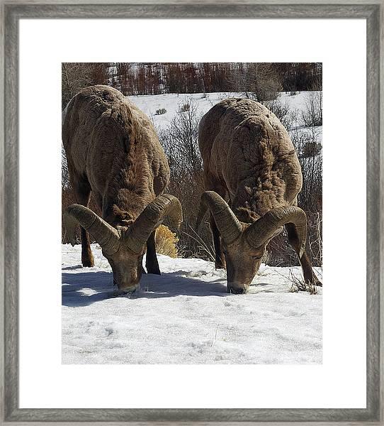 The Mountain Sheep Framed Print