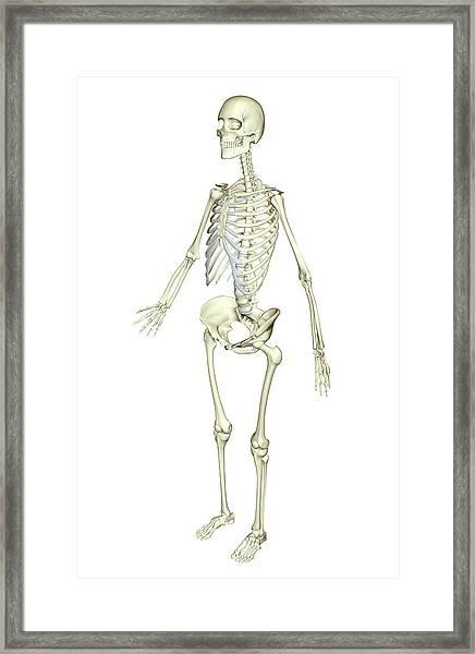 The Skeletal System Framed Print