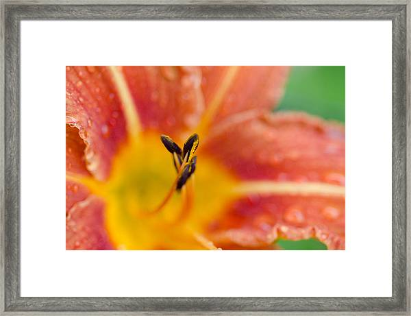 The Tiger Lily Framed Print by Margaret Pitcher
