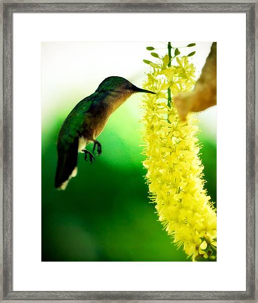 The Wingless Hummer Framed Print