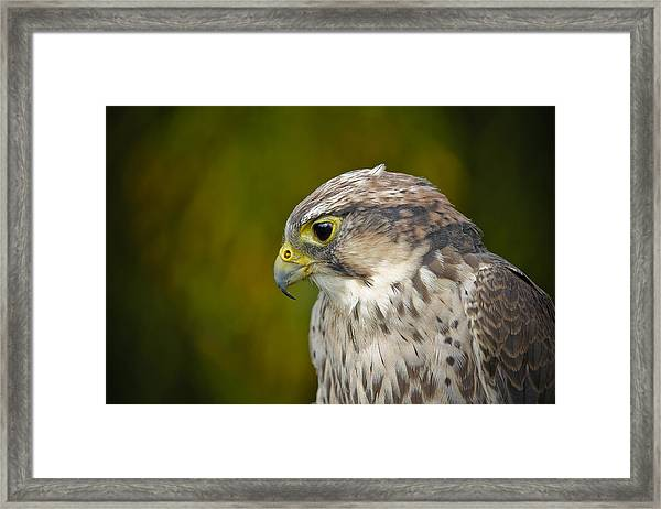 Thoughtful Kestrel Framed Print