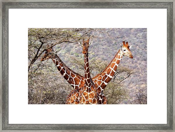 Three Headed Giraffe Framed Print