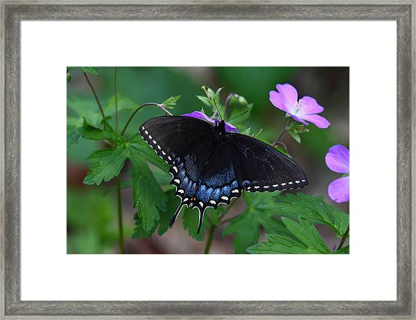 Tiger Swallowtail Female Dark Form On Wild Geranium Framed Print
