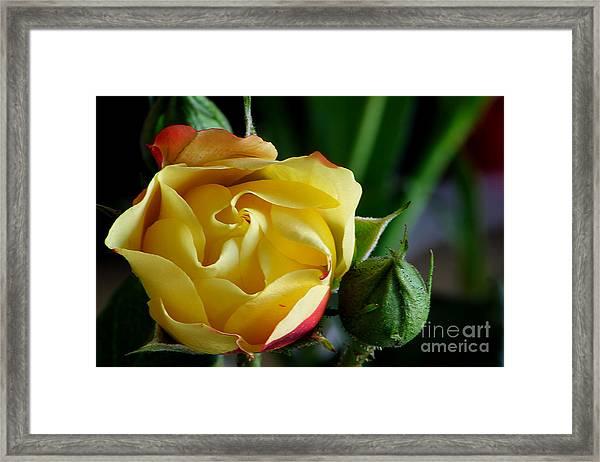 Tiny Rose Framed Print