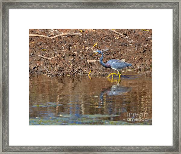 Tricolored Heron In The Winter Marsh Framed Print