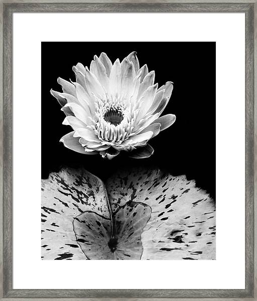 Tropical Water Lily In Black And White Framed Print