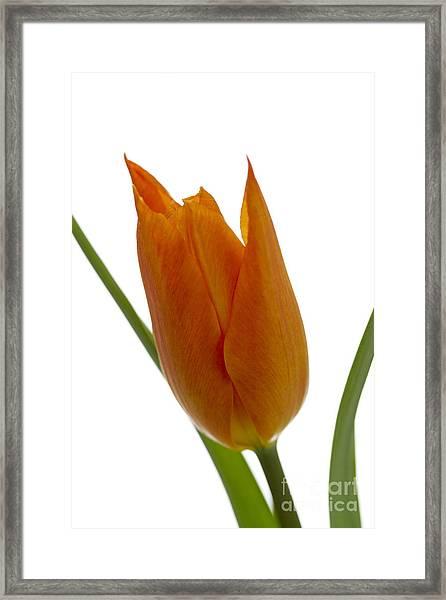 Tulip -1 Framed Print