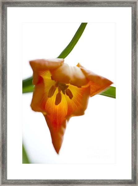 Tulip -3 Framed Print
