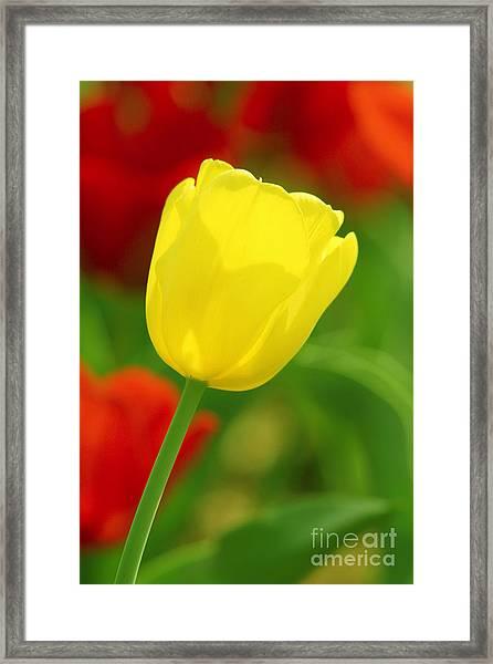Tulipan Amarillo Framed Print