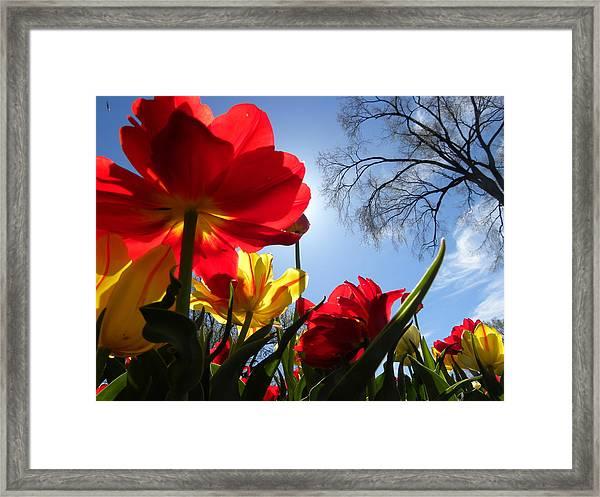 Tulips In Sunshine Framed Print