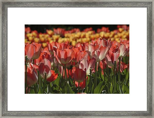 Framed Print featuring the photograph Tulips  by Ralph Jones