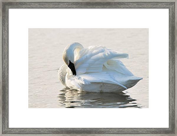 Tumpeter Swan Framed Print