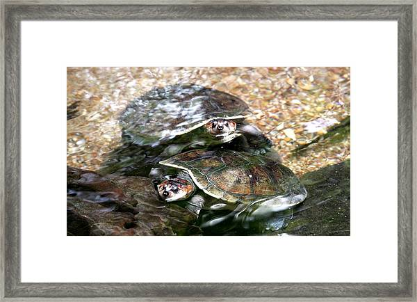 Turtle Two Turtle Love Framed Print