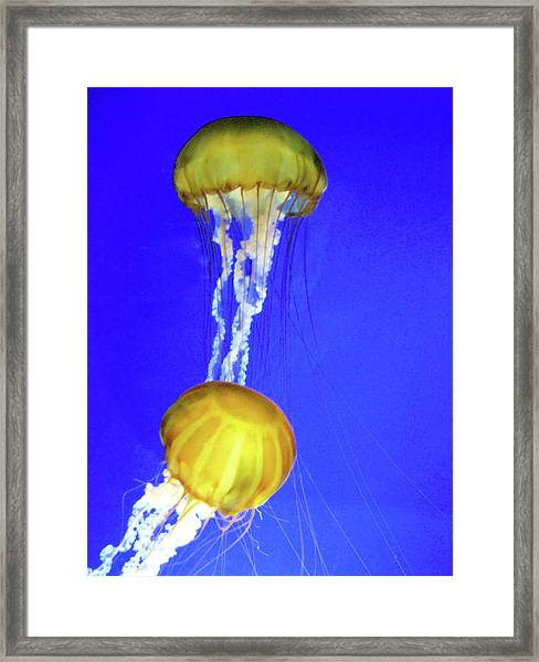 Two Gold Jellys Framed Print