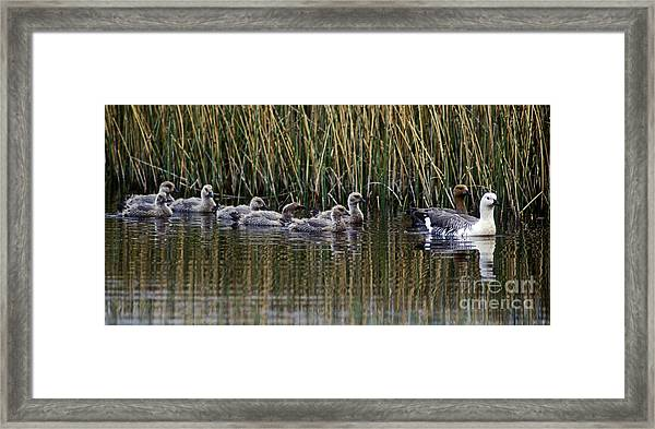 Upland Geese - Patagonia Framed Print by Craig Lovell