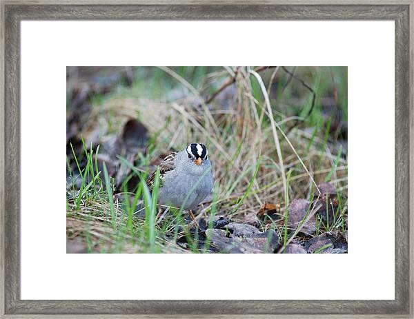 Watchful White Crowned Sparrow Framed Print