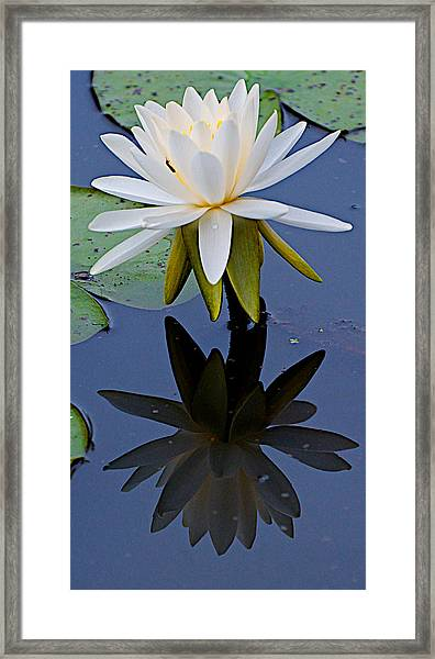 Water Lily And Her Shadow Framed Print