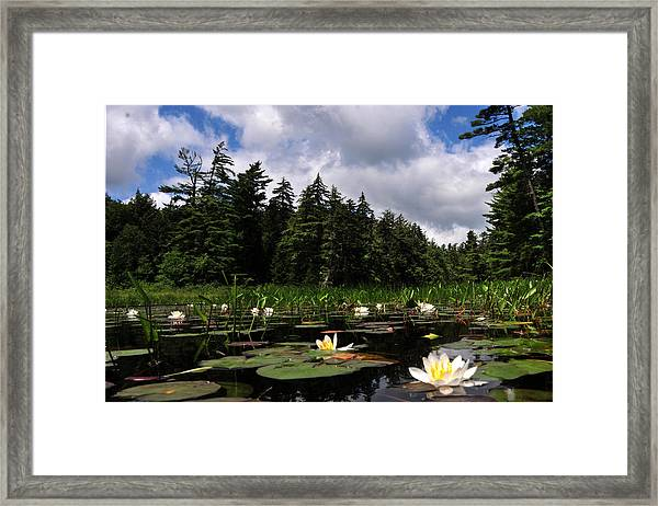 Water Lly Field Framed Print