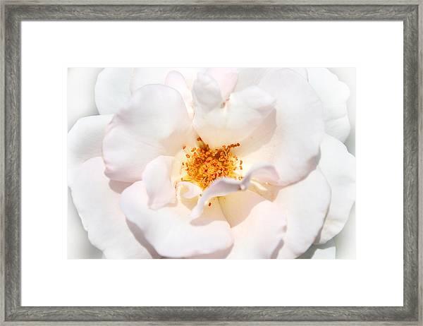 Wedding White Rose Framed Print