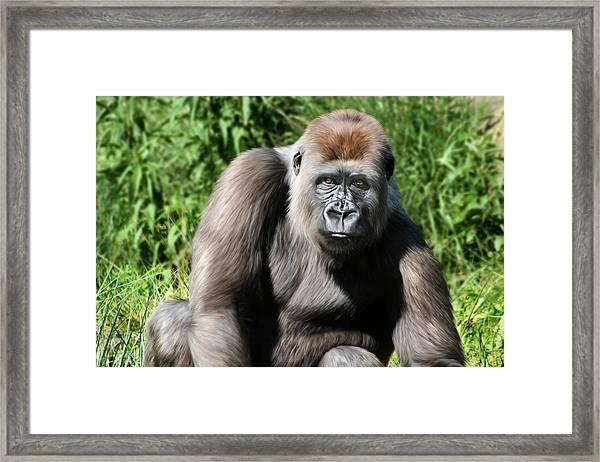 Western Lowland Gorilla Female Framed Print by Julie L Hoddinott