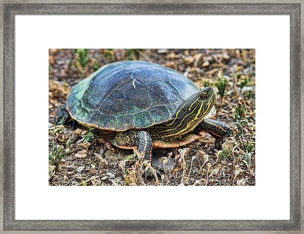 Western Painted Turtle Ll Framed Print