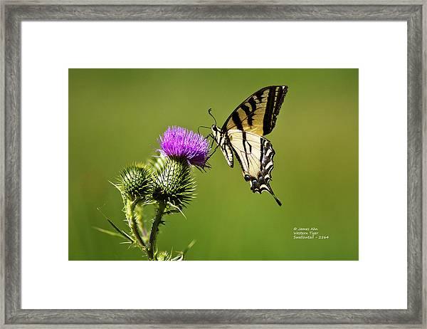 Western Tiger Swallowtail - Milkweed Thistle 2564 Framed Print
