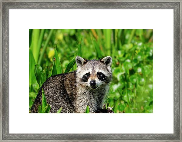 Wetlands Racoon Bandit Framed Print