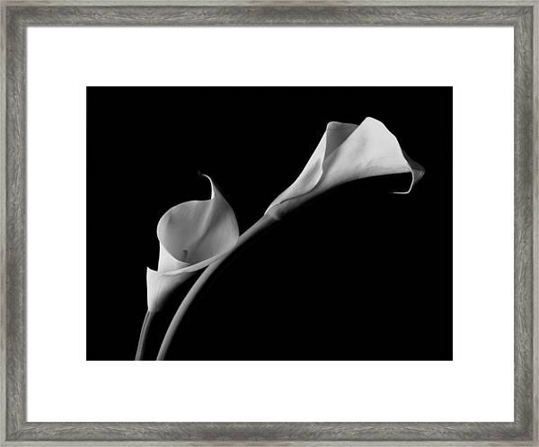 White Calla Lilies Framed Print