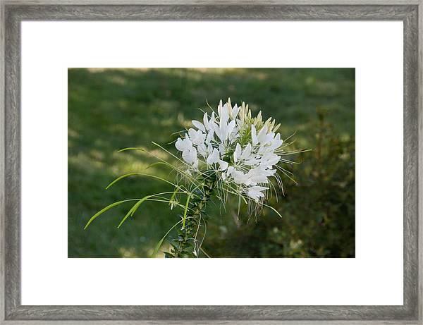 White Cleome Framed Print