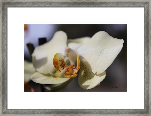 White Dove Orchid Framed Print