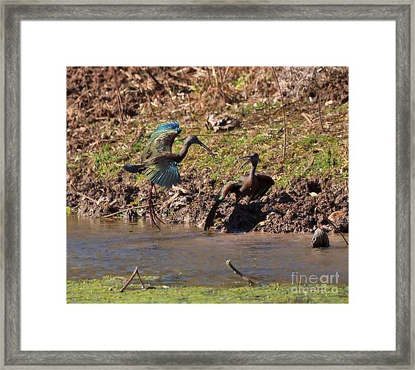 White-faced Ibis Mating Behavior In Early Spring Framed Print