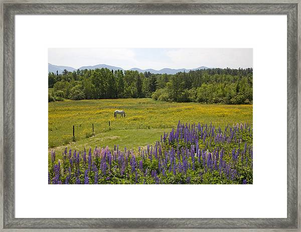 White Horse In Yellow Field Framed Print
