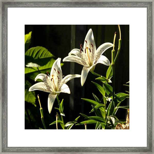 White Lillies Framed Print