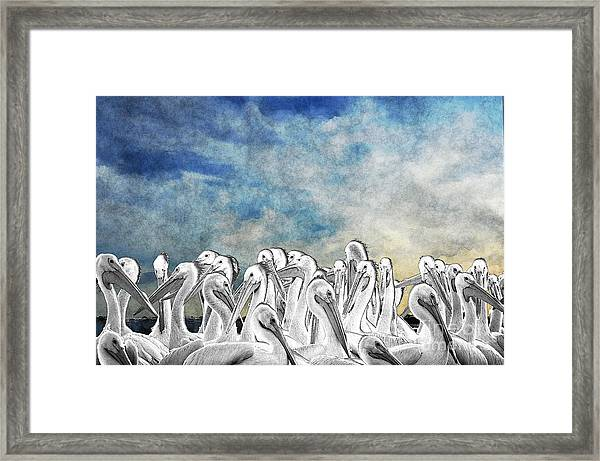 White Pelicans In Group Framed Print
