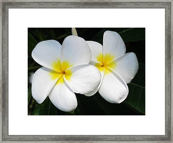 White Plumerias Framed Print