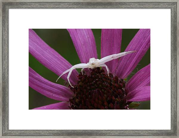 Whitebanded Crab Spider On Tennessee Coneflower Framed Print