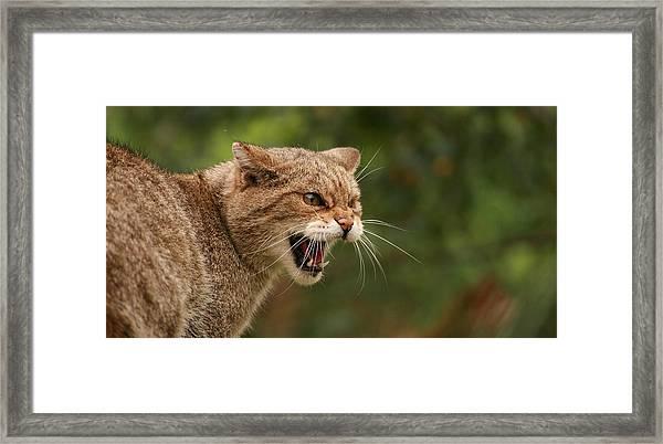 Wild Highland Cat Framed Print