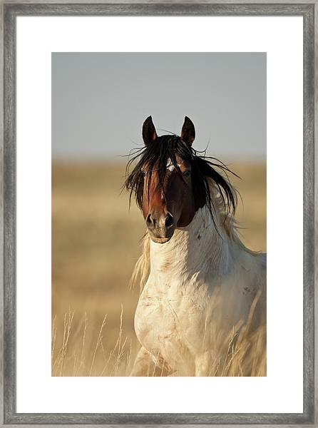 Wild Mustang Band Stallion Framed Print