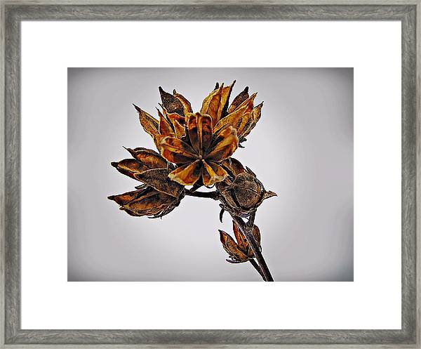 Framed Print featuring the photograph Winter Dormant Rose Of Sharon by David Dehner