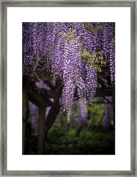 Wisteria Droplets Framed Print
