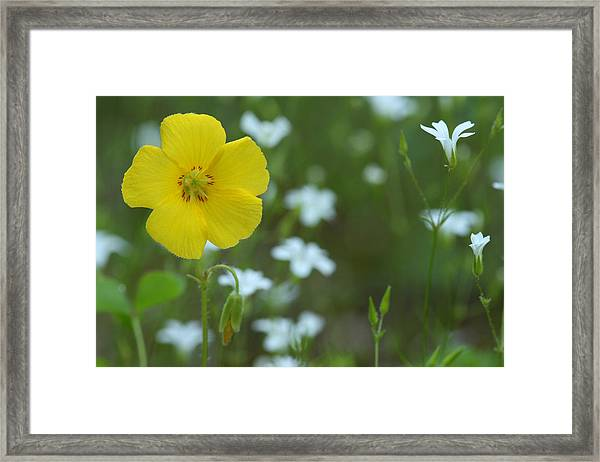 Wood Sorrel And Sandwort Framed Print