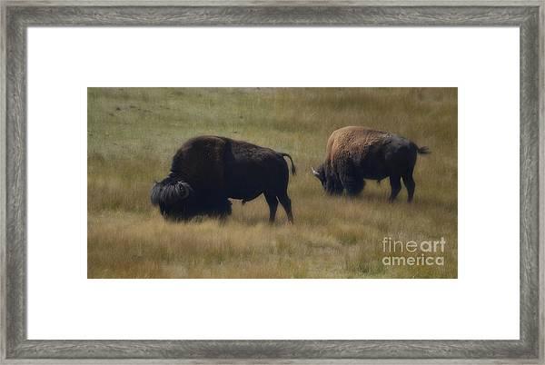 Wyoming Buffalo Framed Print